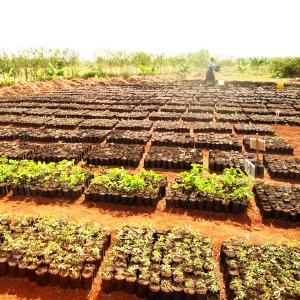 Kinesi Village Tree Nursery