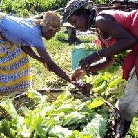 Two women harvesting lettuce from permaculture garden.