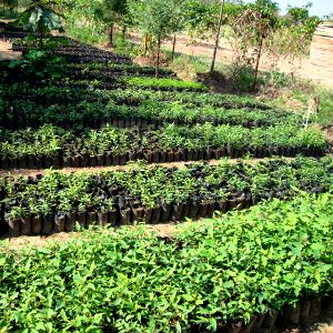 Thousands of tree seedlings at the Kinesi permaculture plot.