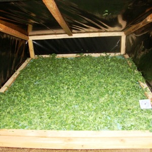 Moringa leaves drying.