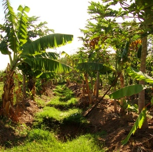 Adult banana trees in Kinesi Village plot.